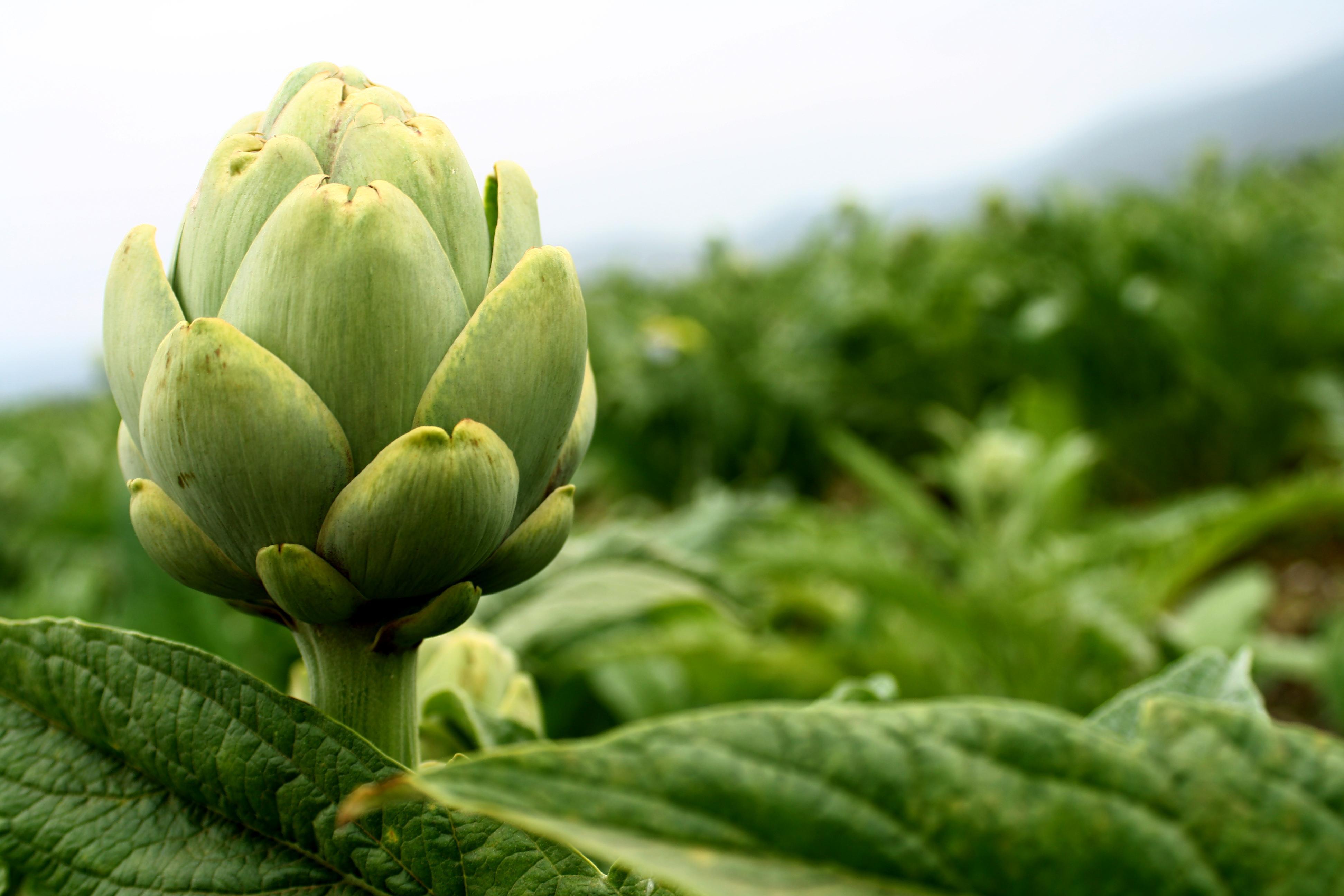 Alcachofa:digestiva y muy depurativa